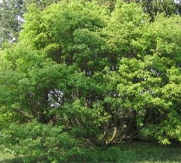 acer cissifolium from larch cottage nurseries