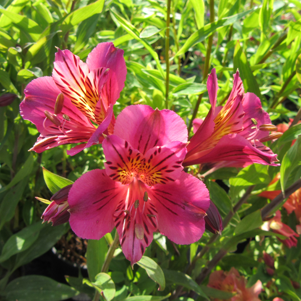 alstromeria_mauve_majesty_from_larch_cottage_nurseries