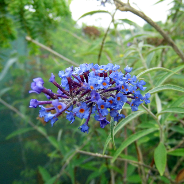 buddleja_pixie_blue_from_larch_cottage_nurseries
