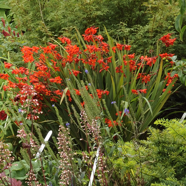 crocosmia_twilight_fairy_crimson_from_larch_cottage_nurseries
