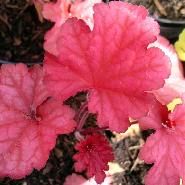 heuchera_berry_smoothie_from_larch_cottage_nurseries