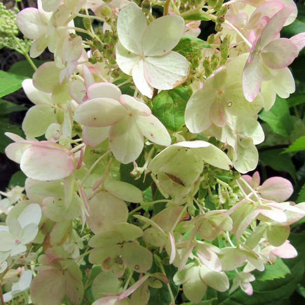 hydrangea_paniculata_pink_ diamond_from_larch_cottage