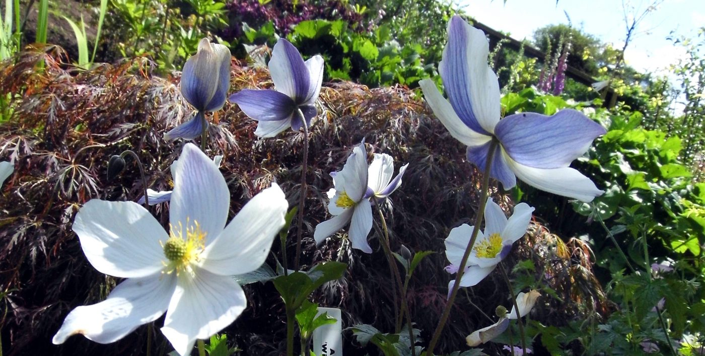 Anemone Wild Swan from Larch Cottage Nurseries