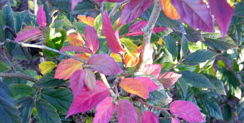 Parrotia Purple Haze from Larch Cottage Nurseries