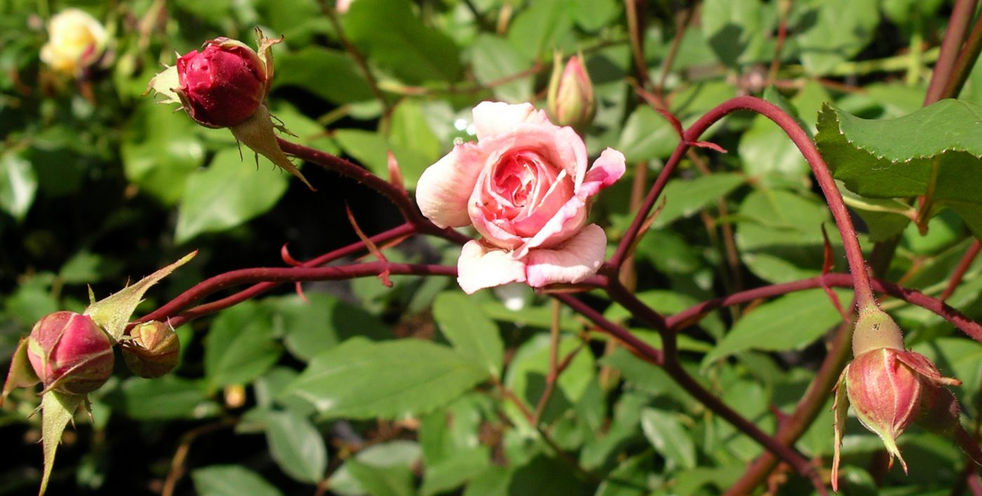 Rosa Cecile Brunner from Larch Cottage Nurseries