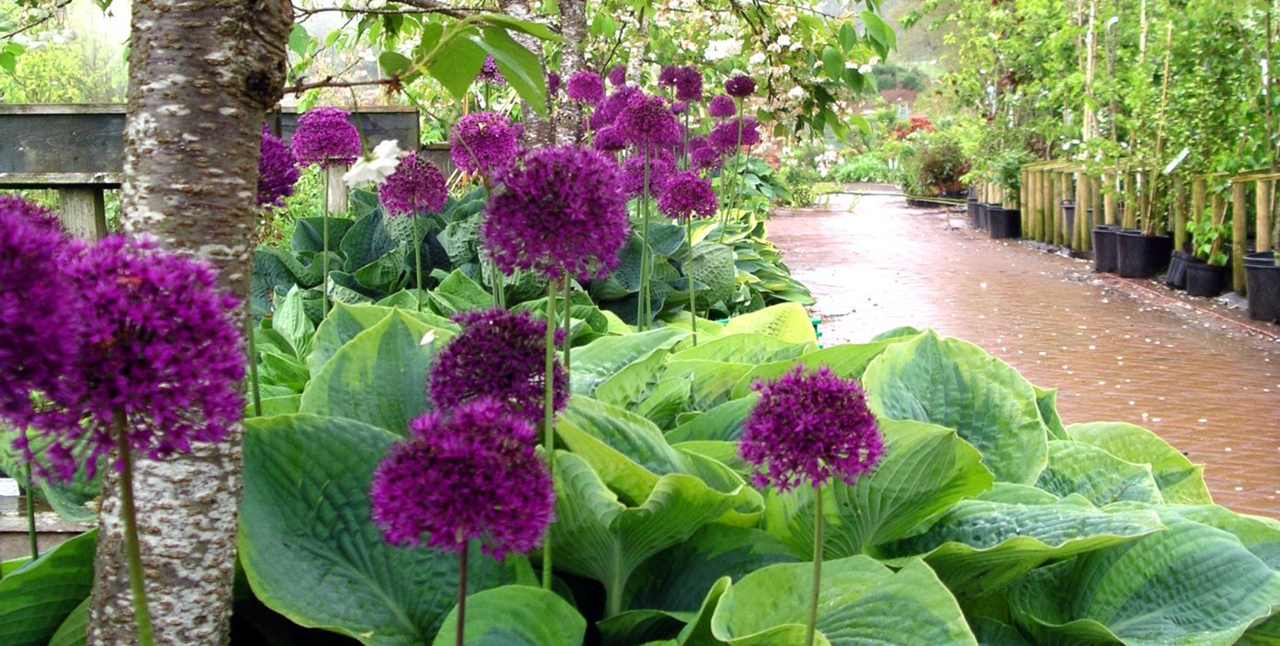 Allium_and_Hosta_line_the_paths_at_Larch_Cottage_Nurseries