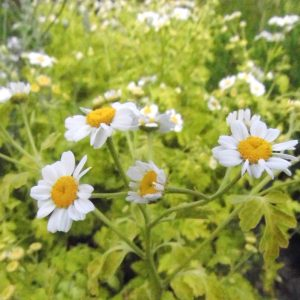 feverfew herbs from larch cottage nurseries