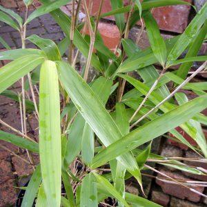 Semiarundinaria Kimmei bamboo