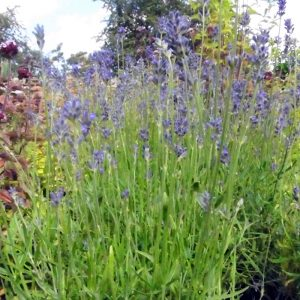 lavender_munstead_from_larch_cottage_nurseries