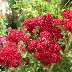 Achillea mill 'Red Velvet' from larch cottage nurseries