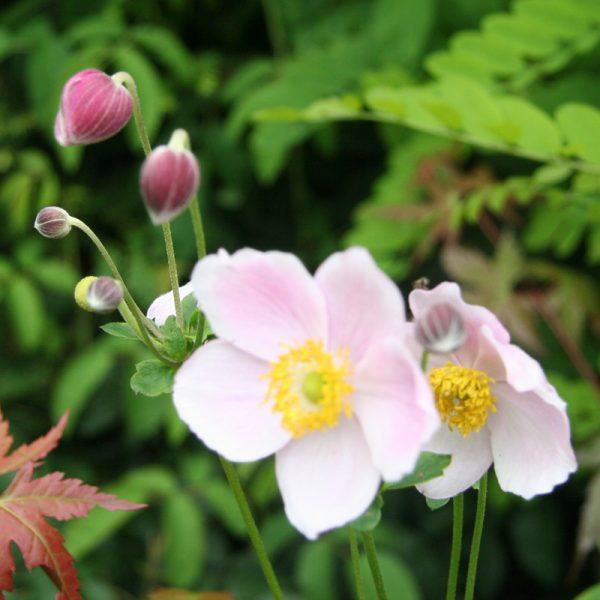 Anemone_hyb_Hadspen_Abundance_from_larch_cottage_nurseries