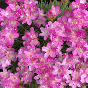 Armeria junip drakes deep form