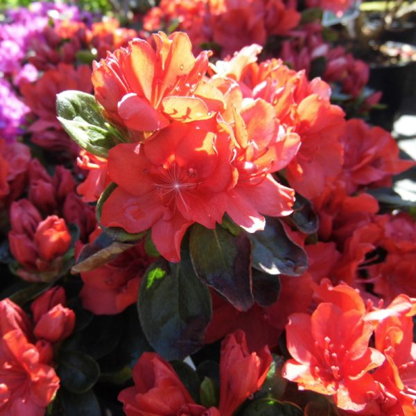 Azalea Ardour_from_l;arch_cottage_nurseries