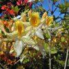 Azalea_Northern_Lights_from_larch_cottage_nurseries