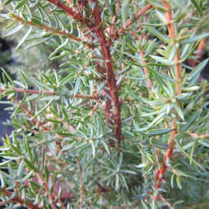 Juniperus comm Arnold
