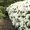 Rhododendron 'Dufthecke White' Inkarho