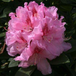 Rhodoendron Albert Schweitzer