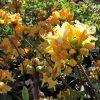 azalea golden lights_from_larch_cottage_nurseries