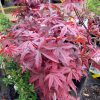 Acer Palmatum twombly red sentinel from larch cottage nurseries