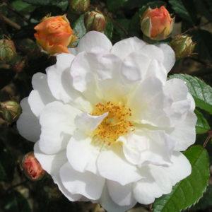 Ghislaine de Feligonde Rambling Rose