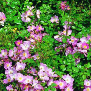 Scented Carpet Ground Cover Rose