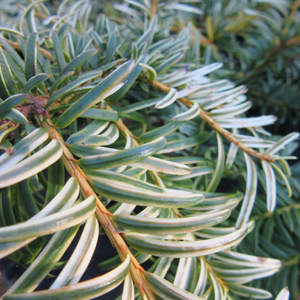 Taxus Bacc corleys copper tip
