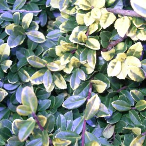 Ilex Crenata Golden Gem Larch Cottage Nurseries