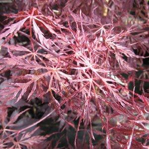 Acer Palmatum Dissectum Firecracker Pbr Larch Cottage Nurseries