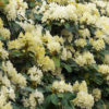 Rhododendron 'Dufthecke Yellow' Inkarho (PBR)
