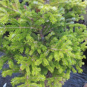 Abies veitchii 'Secrest'