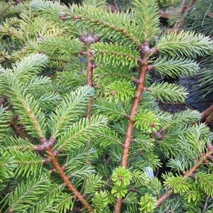 Abies balsamea var. phanerolepis 'Bear Swamp