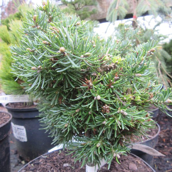Abies lasiocarpa 'Beth Broom'