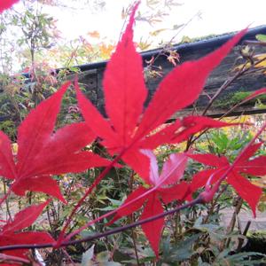 Acer Atropurpureum Mallet