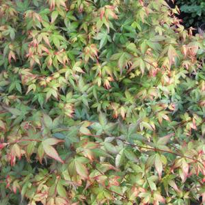 Acer palmatum 'Little Princess' (Chiyo-hime)