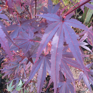 Acer palmatum Ruslyn-in-the-pink