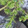 Cedrus libani May