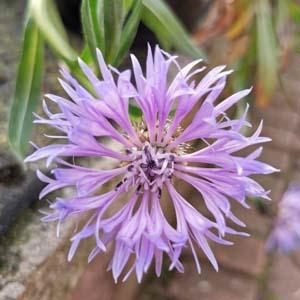 Centaurea montana Blewitt