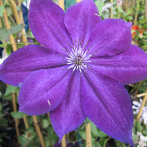 Clematis 'Amethyst Beauty'