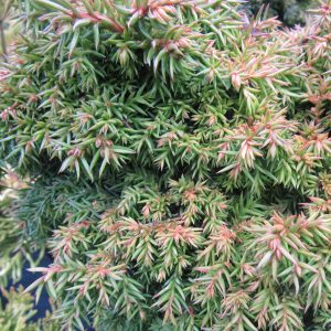 Cryptomeria Peve Ten