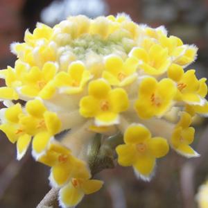 Edgeworthia chrysantha 'Grandiflora'