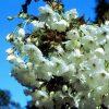 Prunus Fragrant Cloud