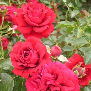Grand Award Rose