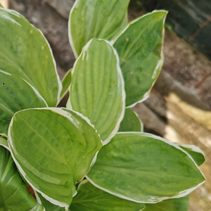 Hosta 'Thomas Hogg'