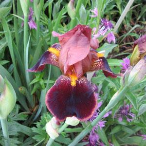 Iris Louvois