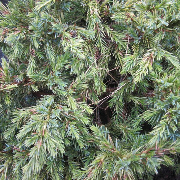 Juniperus Squam Holga