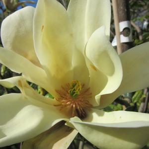 Magnolia Banana Split