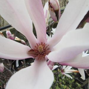 Magnolia Chameleon