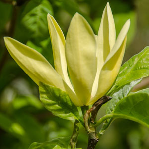 Magnolia Daphne