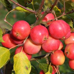 Malus Jelly King