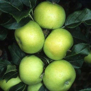 Malus Limelight